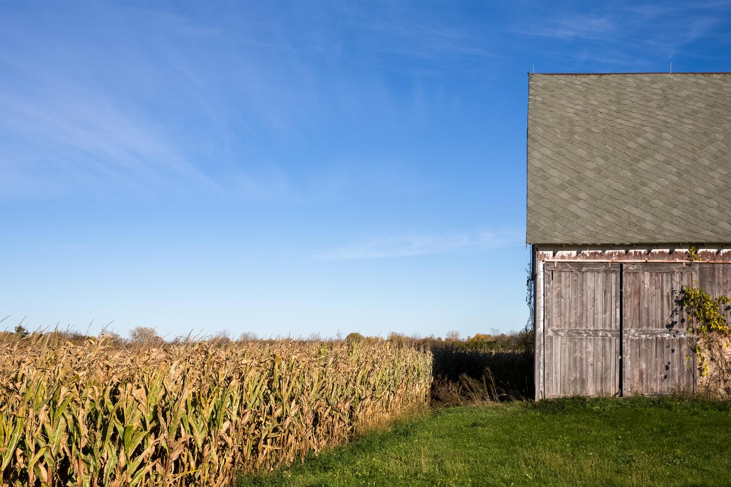 Old barn in a corn field